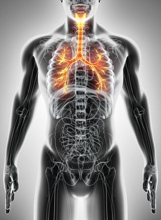 larynx: 3D illustration of Larynx Trachea Bronchi Part of Respiratory System. Stock Photo