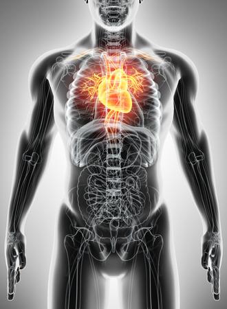 circulating: 3D illustration of Heart - Part of Human Organic.