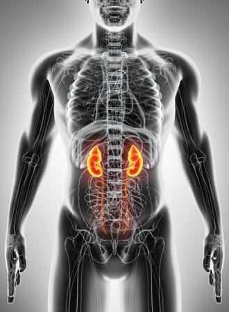 uretra: Ilustración 3D del Sistema Urinario - Parte de Orgánica humano. Foto de archivo