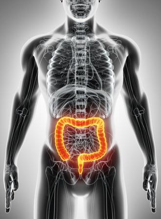 large intestine: Ilustración 3D del intestino grueso, parte del aparato digestivo.