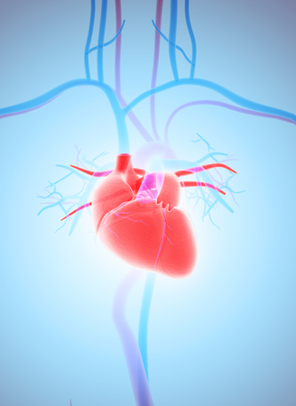 ventricle: 3D illustration of Heart - Part of Human Organic.