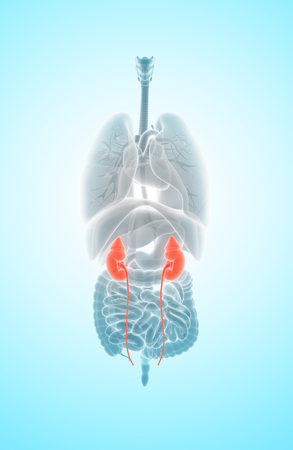 urinary system: 3D illustration of Urinary System, Kidney organic - Part of Human Organic.