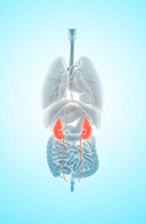 3D illustration of Urinary System, Kidney organic - Part of Human Organic.