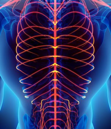 sistema nervioso central: Ilustración 3D del sistema nervioso rojo brillante masculina, concepto médico y la anatomía. Foto de archivo