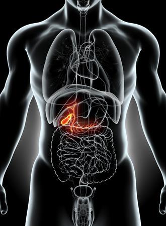 esofago: Ilustración 3D de la vesícula biliar, el concepto médico de rayos X masculino.