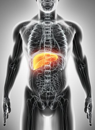 3D illustration of Liver - Part of Digestive System. Stock Illustration - 66096883