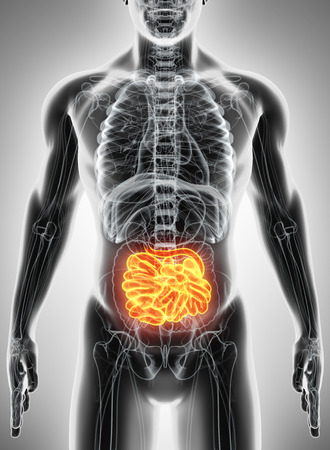 small bowel: 3D illustration of Small Intestine, Part of Digestive System.