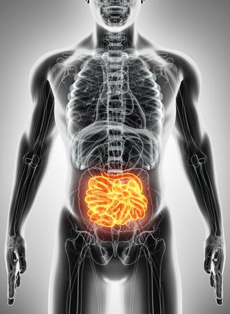 small intestine: 3D illustration of Small Intestine, Part of Digestive System.
