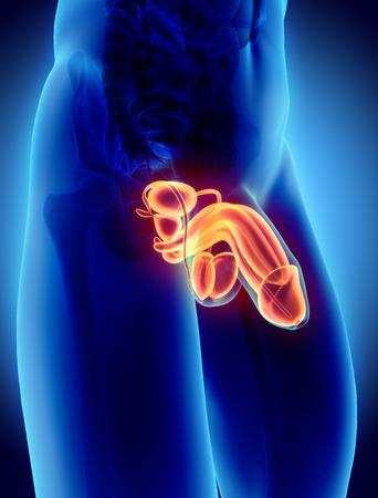 Voortplantingssysteem man - 3D-afbeelding medische concept.