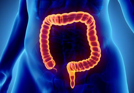 male large intestine: 3D illustration of Large Intestine, Part of Digestive System.