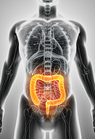 intestino grueso: Ilustración 3D del intestino grueso, parte del aparato digestivo.