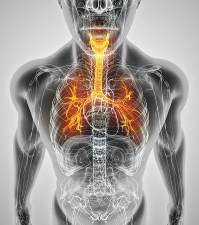 3D illustration of Larynx Trachea Bronchi Part of Respiratory System. Stockfoto