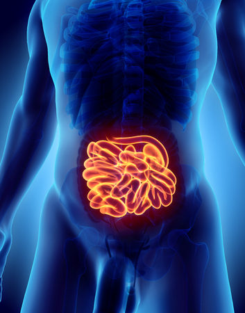 small intestines: 3D illustration of Small Intestine, Part of Digestive System.