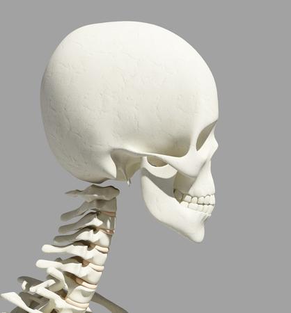 3D-Darstellung Der Schädelanatomie - Teil Des Menschlichen Skeletts ...