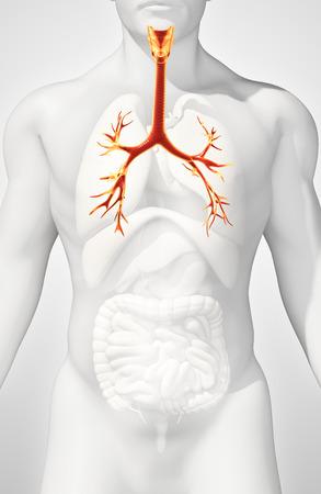 3d Illustration Of Larynx Trachea Bronchi Part Of Respiratory