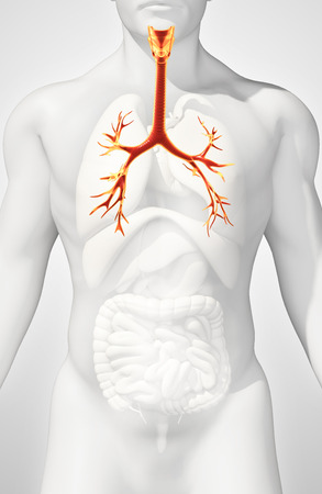 chest cavity: 3D illustration of Larynx Trachea Bronchi Part of Respiratory System. Stock Photo