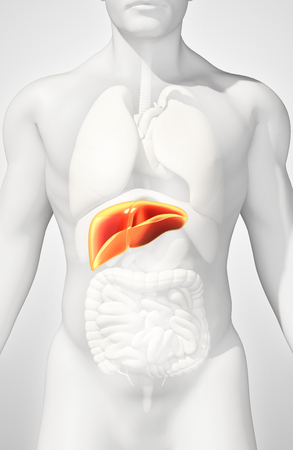 3D Illustration Of Liver - Part Of Digestive System. Stock Photo ...
