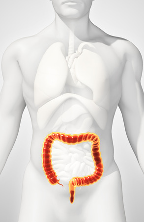 rectum: 3D illustration of Large Intestine, Part of Digestive System.