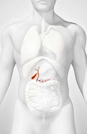 gallbladder surgery: 3D illustration of male Gallbladder, x-ray medical concept. Stock Photo