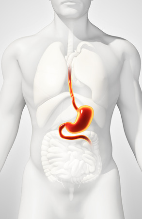 digestive system: 3D illustration of Stomach, Part of Digestive System. Stock Photo