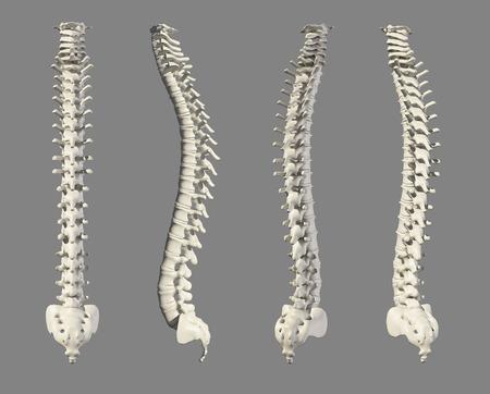 backache: 3D illustration of Spine - Part of Human Skeleton.