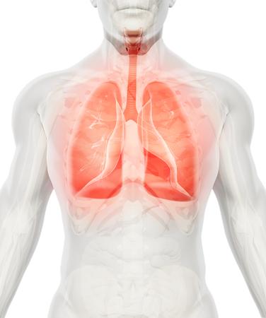 3D-Darstellung von Lungs - Teil der Menschen Bio.