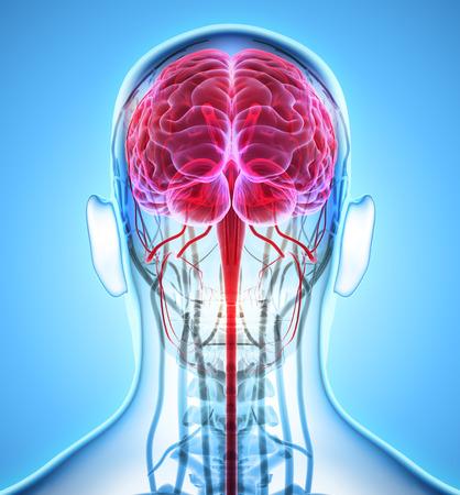 Human Internal Organic - Human Brain, 3D illustration medical concept.