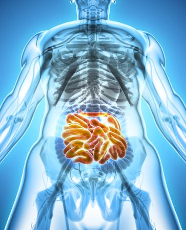 large intestine: 3D illustration of Small Intestine, Part of Digestive System.