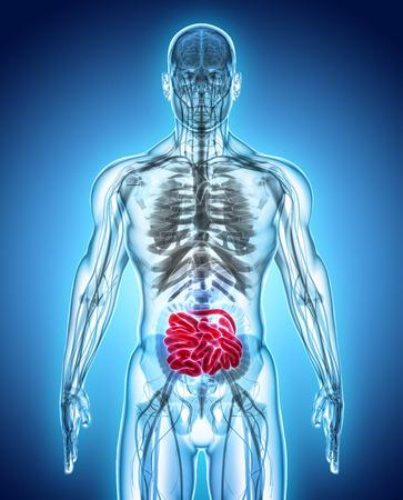 villi: 3D illustration of Small Intestine, Part of Digestive System.