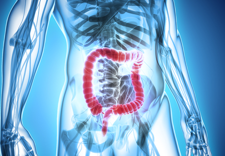 rectum: 3D illustration of Large Intestine, Part of Digestive System.