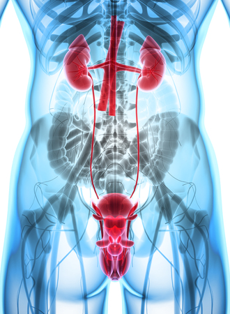 3D illustration du système urinaire - Partie Organique humaine. Banque d'images - 74783666