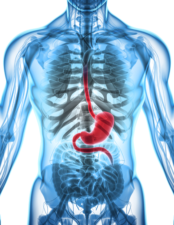 esophagus: 3D illustration of Stomach, Part of Digestive System, anatomy detail.