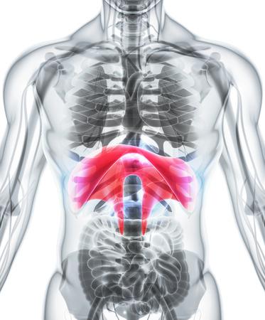 respire: 3D illustration of Diaphragm - Part of Human Organic. Stock Photo