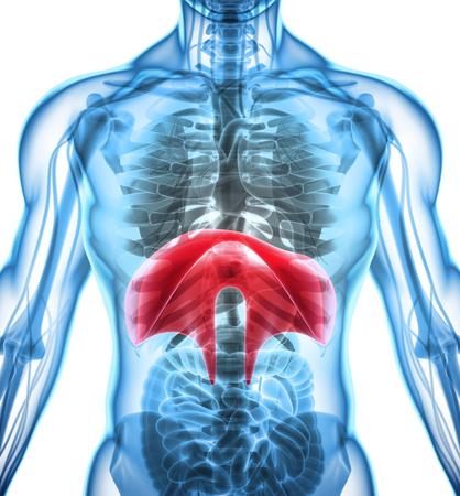3D illustration of Diaphragm - Part of Human Organic. Stock Photo