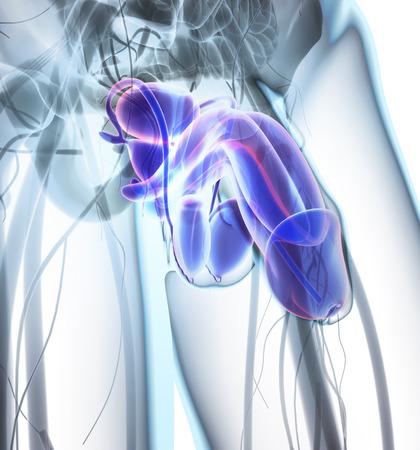 urogenital: Reproductive system male - 3d illustration medical concept.