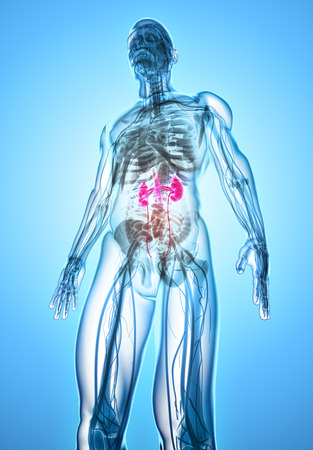 3D illustration of Urinary System - Part of Human Organic.