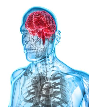 brain illustration: Human Internal Organic - Human Brain, 3D illustration medical concept.