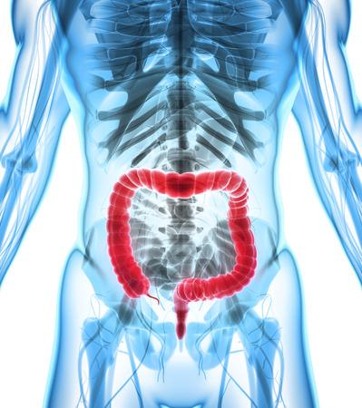 large intestine: 3D illustration of Large Intestine, Part of Digestive System.