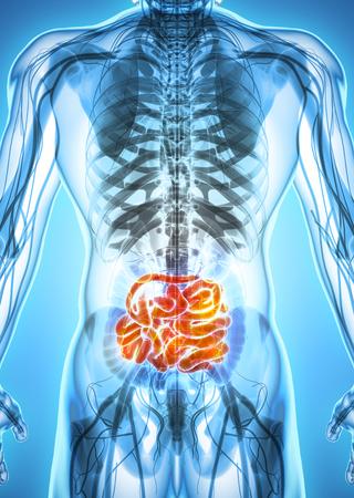intestino grueso: Ilustración 3D del intestino delgado, parte del sistema digestivo.