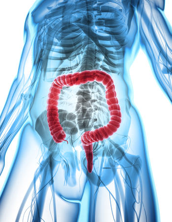 bowel: 3D illustration of Large Intestine, Part of Digestive System.