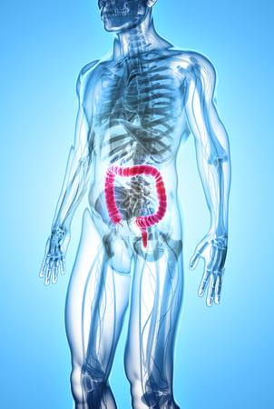 3D illustration of Large Intestine, Part of Digestive System.