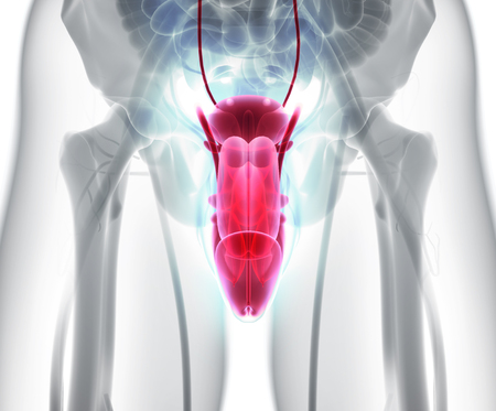 Reproductive system male - 3d illustration medical concept.