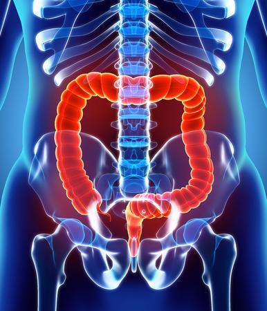 3D illustratie van de dikke darm, onderdeel van het spijsverteringsstelsel.