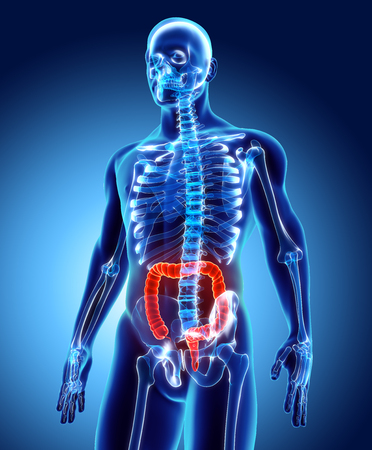 digestive: 3D illustration of Large Intestine, Part of Digestive System.