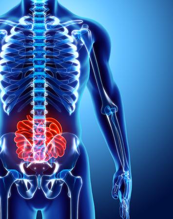 small intestinal villi: 3D illustration of Small Intestine, Part of Digestive System.