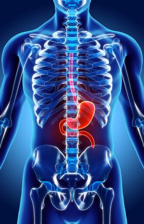 esofago: 3D illustration of Stomach, Part of Digestive System, anatomy detail.