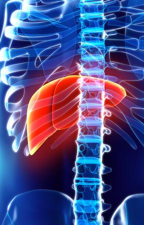human liver: 3D illustration of Liver - Part of Digestive System. Stock Photo