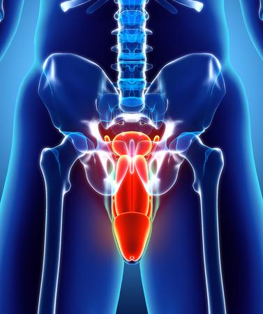 Tolle Anatomie Und Physiologie Männliche Fortpflanzungssystem ...