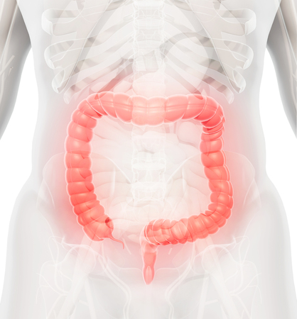 cecum: 3D illustration of Large Intestine, Part of Digestive System.