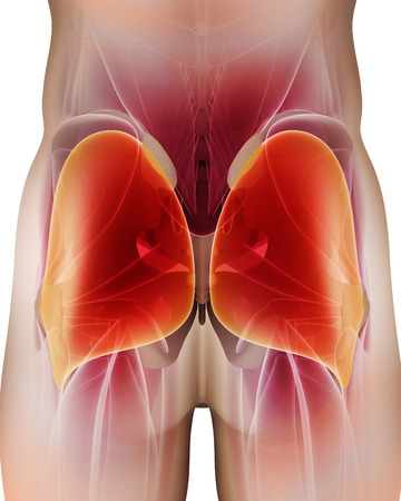 back ache: 3D illustration of Gluteus Maximus, Part of Muscle Anatomy.